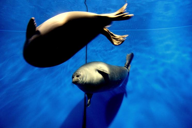 Sladkovodné tulene žijúce v Bajkali (tzv. Nerpa)