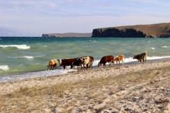 To sú ale kravy v Bajkalskom jazere!
