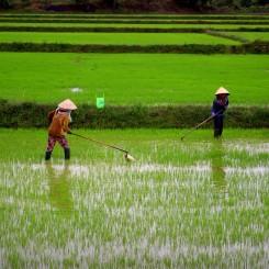 Cestou sme míňali množstvo krásne zelených ryžových polí