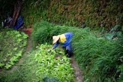 Na kopčeku za mestom sa pestuje o sto šesť (o.i. tam pestujú aj čaj)