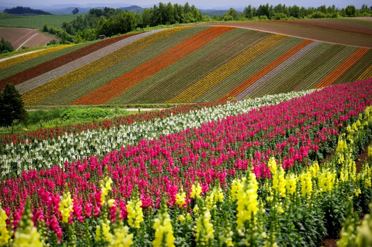 Shikisai-no-oka kvetinová farma
