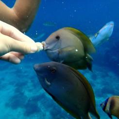 Keď sa jedná o jedlo, ryby strácajú všetku plachosť