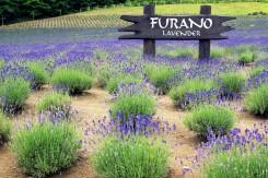 Levanduľová farma vo Furane