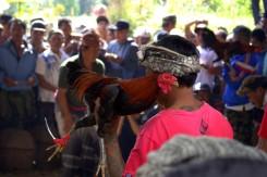 Kohútie zápasy na dedine - oficiálne sú zakázané