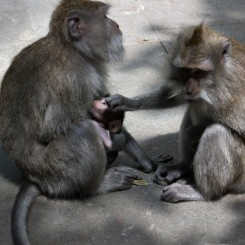 Opice v Monkey forest pri Ubude sú síce neškodné, ale veci si pred nimi treba strážiť :)