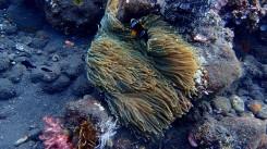 Nemo (clownfish) sa väčšinou zdržuje v ochrannej zóne sasanky