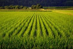 Ryžové polia v Japonsku musia byť - ryža je totiž základ každej správnej kuchyne