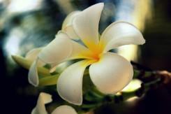 Typická indonézska kvetina si našla miesto za uchom nejedného švárneho dievčaťa